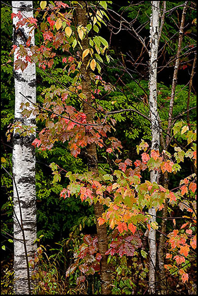 Foliage And Birches in the Rain
