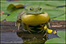 Singing Bullfrog