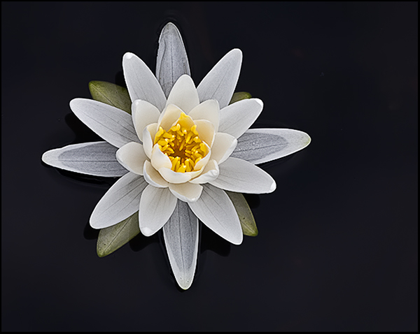 Waterlily single