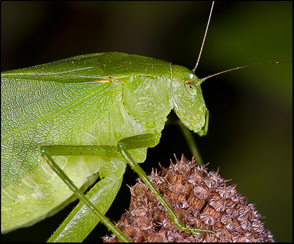 Round-headed Katydid 2